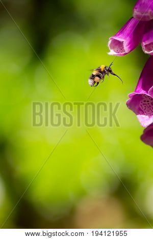 Pollination. Bee with full pollen sacs and proboscis extended ready to take nectar from foxglove garden flower. Bumblebee pollen-basket.