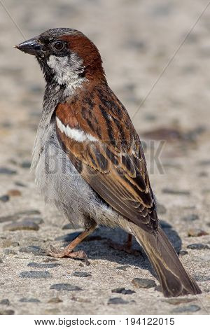 Male house sparrow (Passer domesticus). Close up profile of garden bird on concrete path.