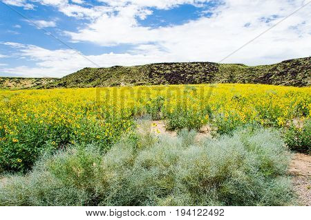 Petroglyph National monument park in Albuquerque New Mexico during summer with bright yellow flowers in meadow