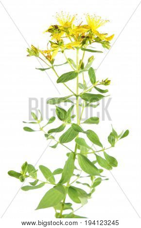 Saint Peter's wort plant (Hypericum tetrapterum) isolated on white background