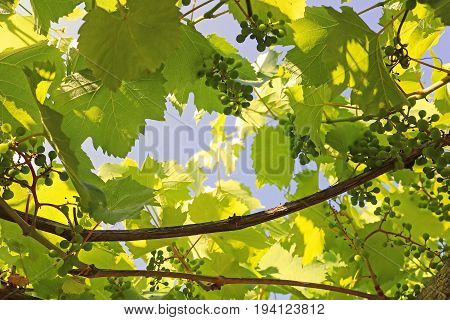 Green immature wine grapes on plants in summer