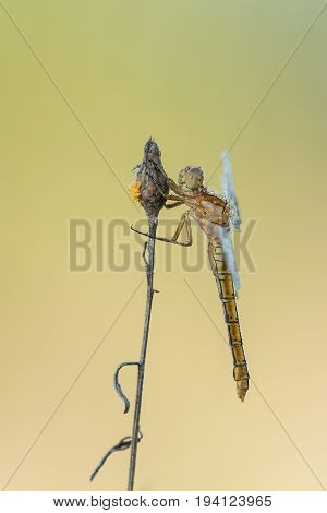 Beautiful nature scene with dragonfly Keeled skimmer (Orthetrum coerulescens). Macro shot of dragonfly on the grass. Dragonfly in the nature habitat.