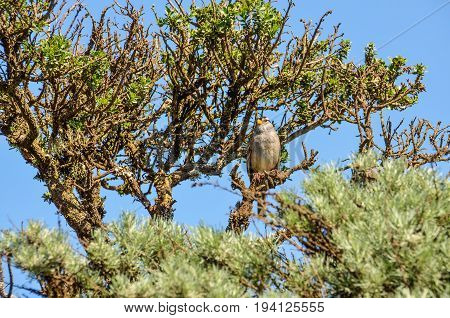 White crowned sparrow sitting perched on tree