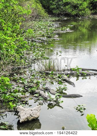 Many alligators in pond in Florida Everglades lurking as predators