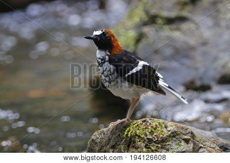 Chestnut-naped Forktail Enicurus Ruficapillus Cute Birds Of Thailand