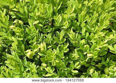 Fragment of boxwood bush. Backgroung.  Boxwood bush in natural lighting in close-up.