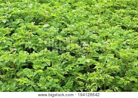 Green bush of potato with a flower in the garden