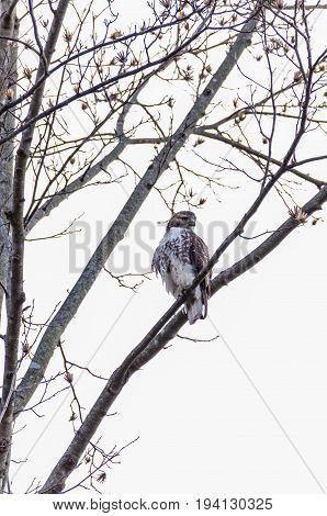 Broad-winged Hawk Buteo platypterus perched on a tree isolated against sky in Virginia forest in winter