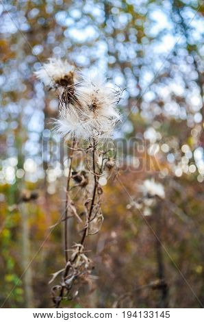 Macro closeup of fluffy hairy furry dried thistle weed plant with bokeh focus