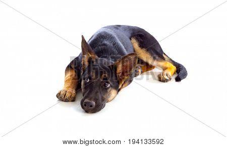 Young German Shepherd dog isolated on white background
