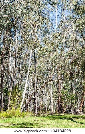 Eucalyptus forest in California with white bark trees during sunny spring day