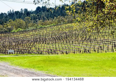 Vineyard hill with rows of grape vines and mountains in Napa Valley California