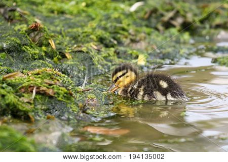A tiny mallard duckling feeding on algae covered rocks
