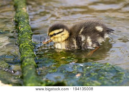 A mallard duckling feeding on algae growing on a mooring rope