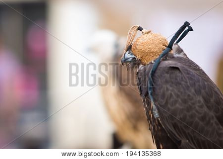 Harris's hawk bay-winged hawk or dusky hawk covered with falconry mask. Copy space for text