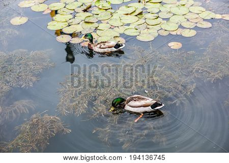 Two green mallard ducks swimming in pond with lily pads in Carroll Creek in Frederick Maryland