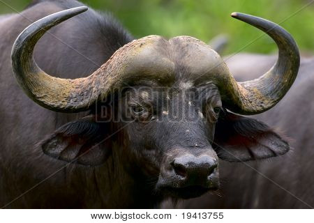 African buffalo; Syncerus caffer; South Africa