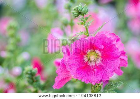 Flowers Holly Hock (Hollyhock) pink in the garden