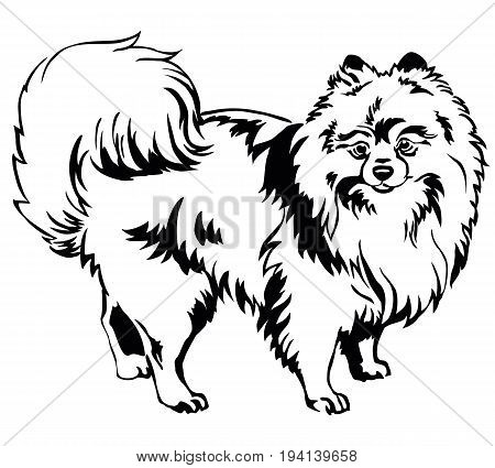 Decorative portrait of standing in profile dog breed Spitz (Pomeranian) vector isolated illustration in black color on white background