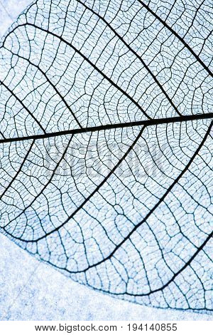 Close up on Leaf texture on blue lightbox background and selective focus. Abstract Background Macro focus to show a detail structure of leaf.