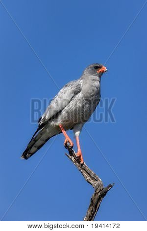 Pale Chanting goshawk perched on branch ; Melierax canorus
