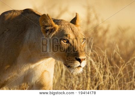 Lion; female; panthera leo; South Africa; Kalahari desert
