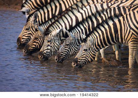 A group of Zebras drinking water in a waterhole : Etosha