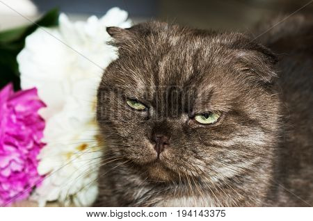Portrait of angry fold. Brown cat on background of flowers. Horizontal rectangular photo.