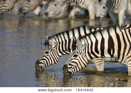 Close-up of two zebras drinking with herd in background; Etosha; Equus burchell's