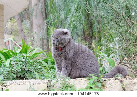 Gray British plush cat on a background of green plants. Yellow expressive eyes.