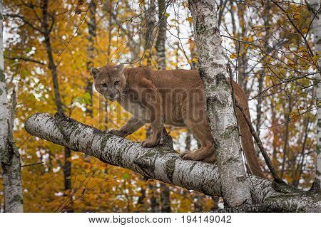 Adult Male Cougar (Puma concolor) Stands on Birches - captive animal