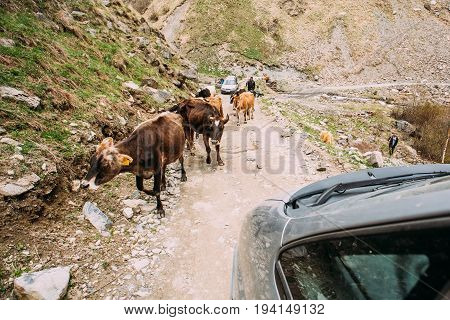 Truso Gorge, Georgia - May 2,2016: Cows Walking Along A Narrow Mountain Countryside Road In Rocky Mountains At Spring Season In Georgia.