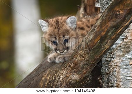 Female Cougar Kitten (Puma concolor) Peers Out from Tree - captive animal