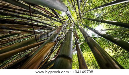 bamboo forest - a fresh bamboo background