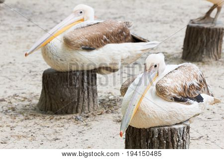 Cute white pelicans with big beak closeup