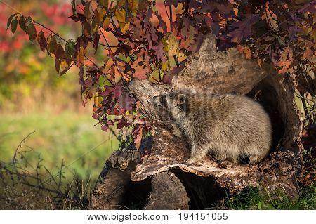 Raccoon (Procyon lotor) Paw Up Inside Log - captive animal