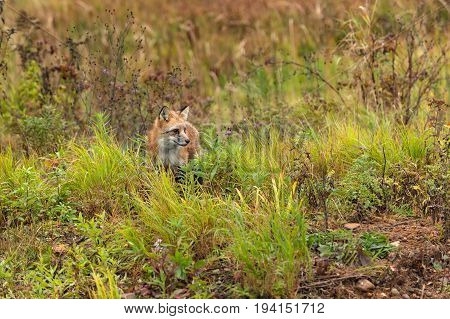 Red Fox (Vulpes vulpes) in Weeds Looks Right - captive animal