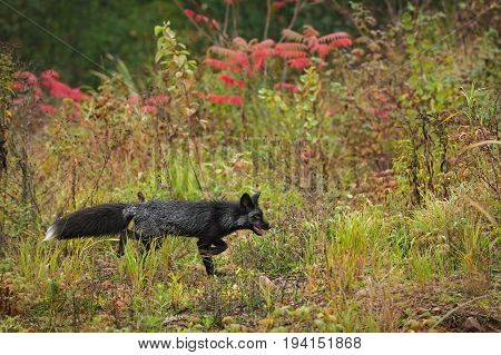 Silver Fox (Vulpes vulpes) Walks Right - captive animal