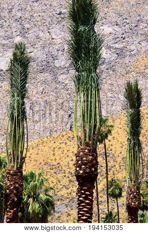 New Palm Trees including tied palm leaves recently transported to a desert garden with barren and desolate mountains beyond taken in Palm Springs, CA