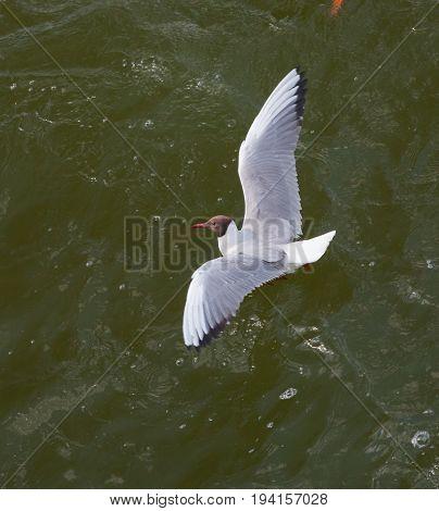 The black-headed gull(Chroicocephalus ridibundus) in green water, Mazurien Region, Poland, Europe