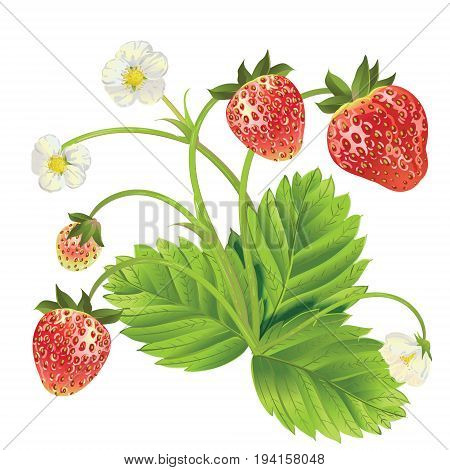 Vector strawberry . Design for tea, natural cosmetics, beauty store, pastry filled with strawberry, dessert menu, , perfume, aromatherapy. With place for text