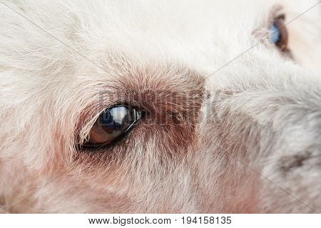 Poodle dog eyes with infection close-up. Conjunctivitis in dog eye