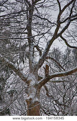Olad dead oak tree in winter snow wrapped, Bialowieza Forest, Poland, Europe