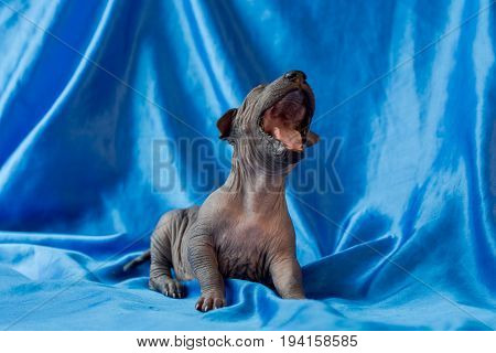 Newborn dog Mexican xoloitzcuintle puppies one week old sits on a blue background and yawns. Ready for bed. A place for writing letters. Postcard