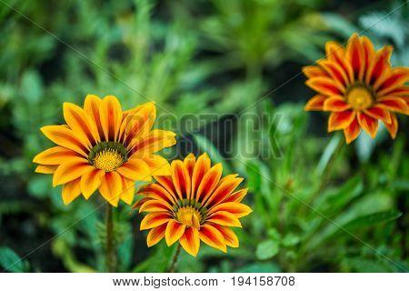 Three beautiful Gazania rigens flowers in a garden.