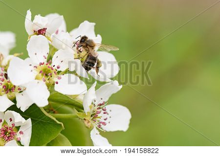 A Bee Collects Nectar From The Flowers Of Pear Trees Macro Copyspace