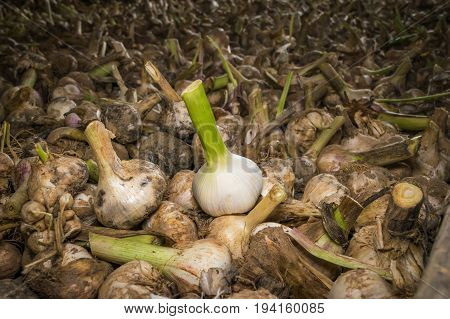 Elephant garlic curing on a wagon at a farm during summer in Virginia