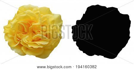 A yellow rose with Alpha mask isolated on white background