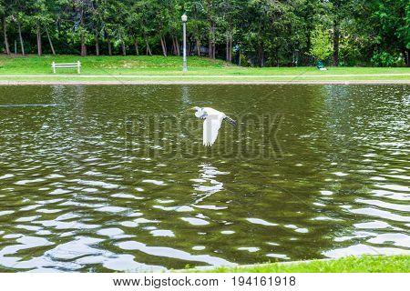 White heron egret flying over lake in summer