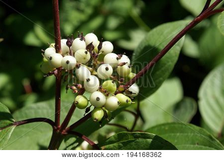 Closeup view of some wild berries commonly found foraging the woodlands of Ontario Canada.